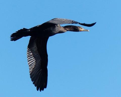 Cormorant 1 102313