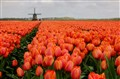 Holland, windmill in a sea of Tulips.