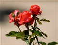 Alcala_Rose