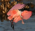 Spoonbill Arrives