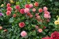 Butchart_Gardens-1-00749