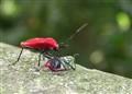 Vampire Bug