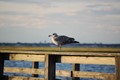Seagull on railing at Field 10