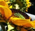 caterpillarsunflower