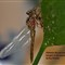 Orthemis discolor male 1st 24 h of life 2