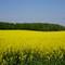 Field of yellow: Near Woodstock ON