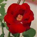 Village Rose 2