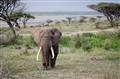 Elephant on a Walk