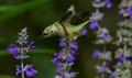 Hummingbird Balancing On A Flower Top