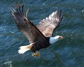 Bald eagle fishing#2