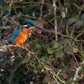 Kingfisher - female