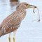 juv night heron w stick.small