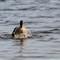 Goose Diving