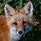 denali arctic fox in autumn