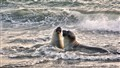 Young Elephant Seals at Play