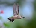 Rubythroated hummingbird in flight