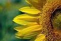 Sun Flower Texture