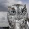 Owl, Screech Eastern