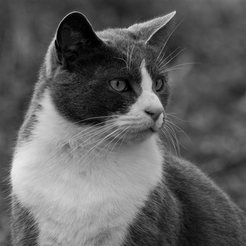 An accomplished hunter - B&W