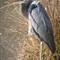 Blue Heron (Ardea herodias)