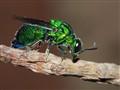 Cockoo wasp_2414