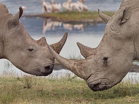 white rhino_dp