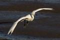 Little Egret (Egretta garzetta) ...