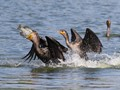 Two cormorants , well one is trying to take the others breakfast