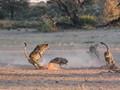 Cheetahs chasing a Black-backed jackal.