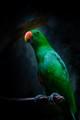 Male Electus Parrot