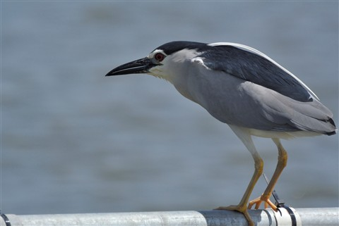 Night Heron-female2