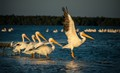 White pelicans at dawn in the Florida, USA, Everglades