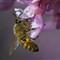 Honeybee-on-redbud