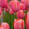 Tulips for Submission