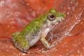 Less than 2cm frog