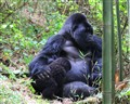 Mountain Silverback Gorilla and son