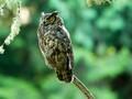 Northwest Horned Owl