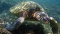 Giant Green Turtle