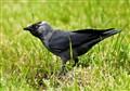 Corvus Medula