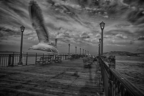 SF_Pier1_bird_in_flight