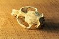 Muskrat skull on rough sawn hardwood