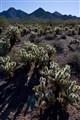 Cholla Cactus Field