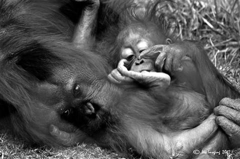 Orangutan 1-001