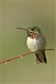 Caliiope Hummingbird