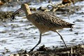 Long Billed Curlew with Crab