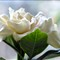 Gardenia # 7