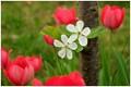Cherry Tree Flowers and Tulips