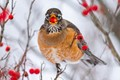A robin swallows a winter berry on a snowy day in West Kentucky, February 2021. Despite temperatures that only reached 12 degrees and 9 inches of snowfall, the robin and his friends happily munched away at the plentiful berries.