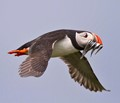 Atlantic Puffin bringing sand eels back to its nest