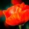 poppy12013